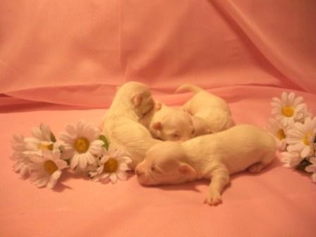 Новорожденные щенки мальтезе
