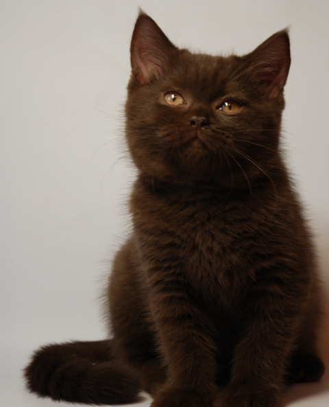 ...предлагает Британских (не страйты) котят-окрас шоколадный, красный...