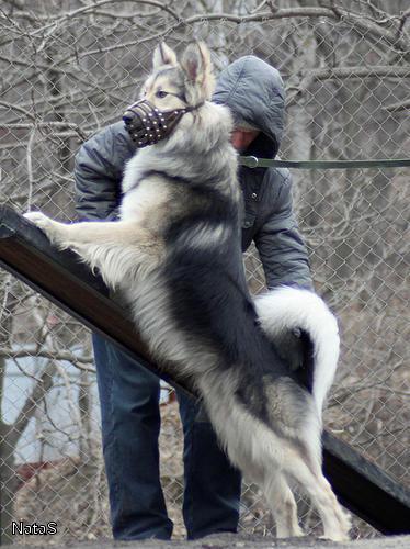 помесь Ч.Лайки с волком,ищет сучку для случки.