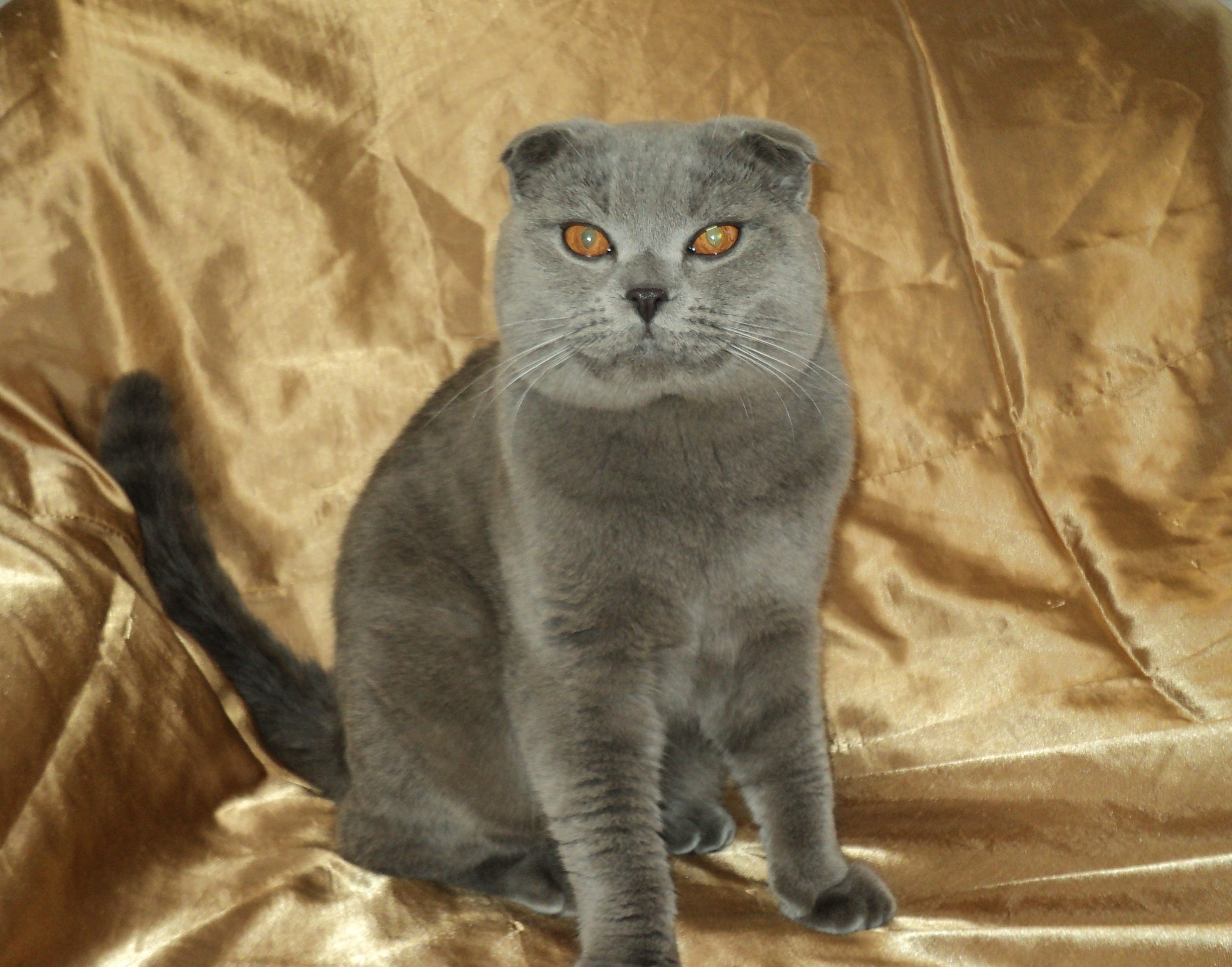 Стрижка шотландских кошек фото
