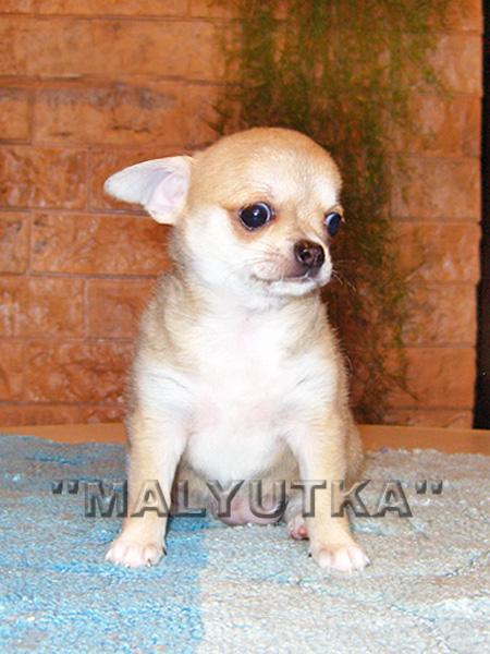 Каков рост чихуахуа? - Клуб любителей маленьких собак