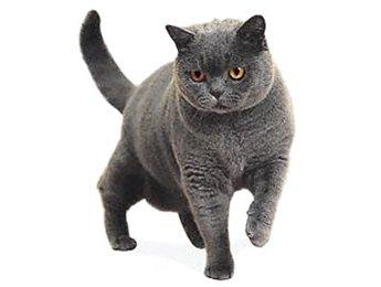 Британский кот для спаривания