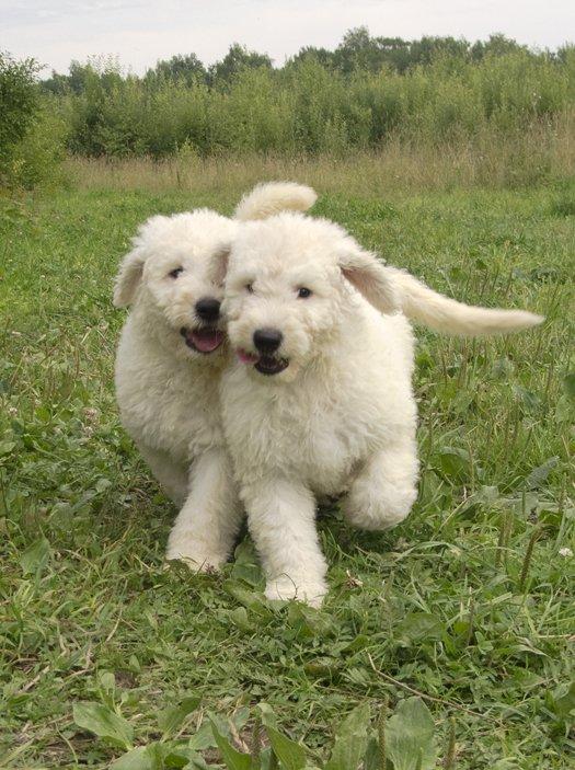 Пули - это собака для ленивых щенки рождаются с курчавой или волнистой шерстью к 9-12 месяцам