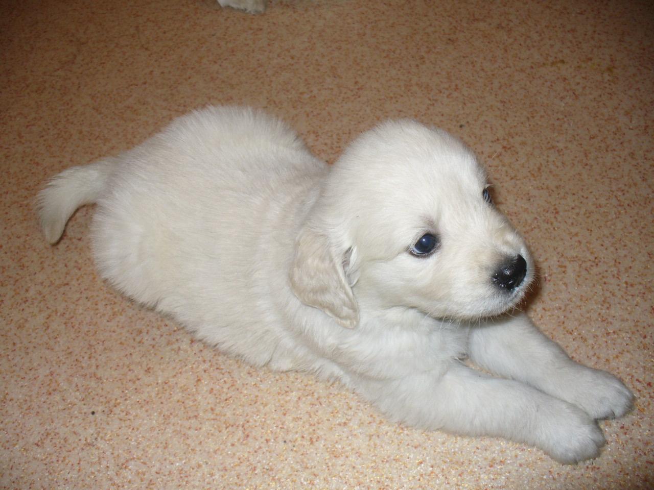 Лабрадор ретривер  фото содержание и уход за щенками