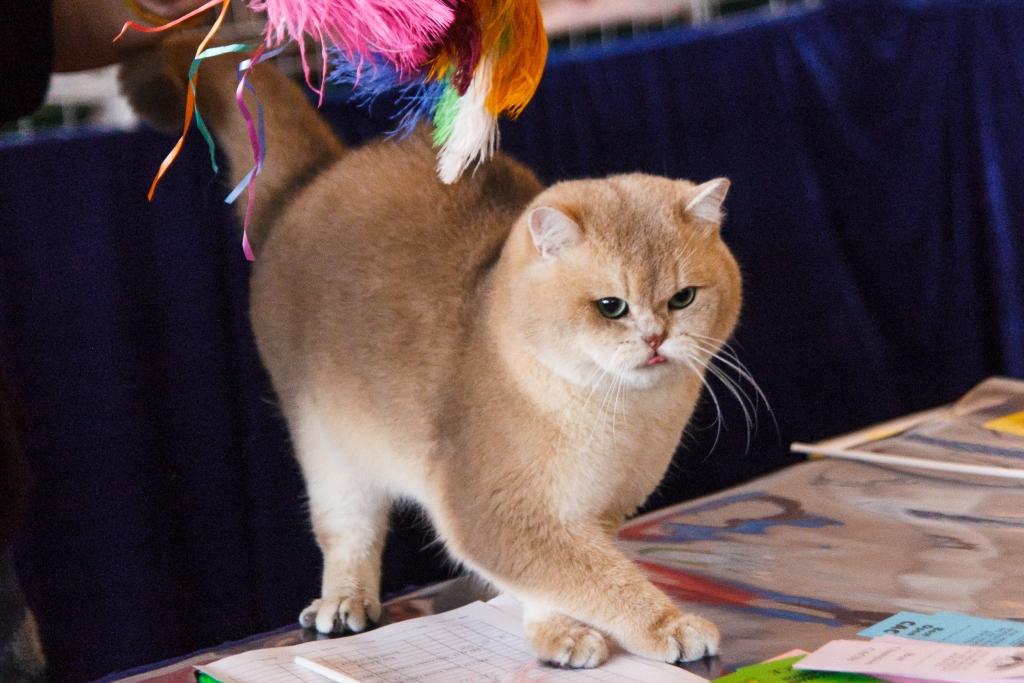 объявление о продаже кошки образец